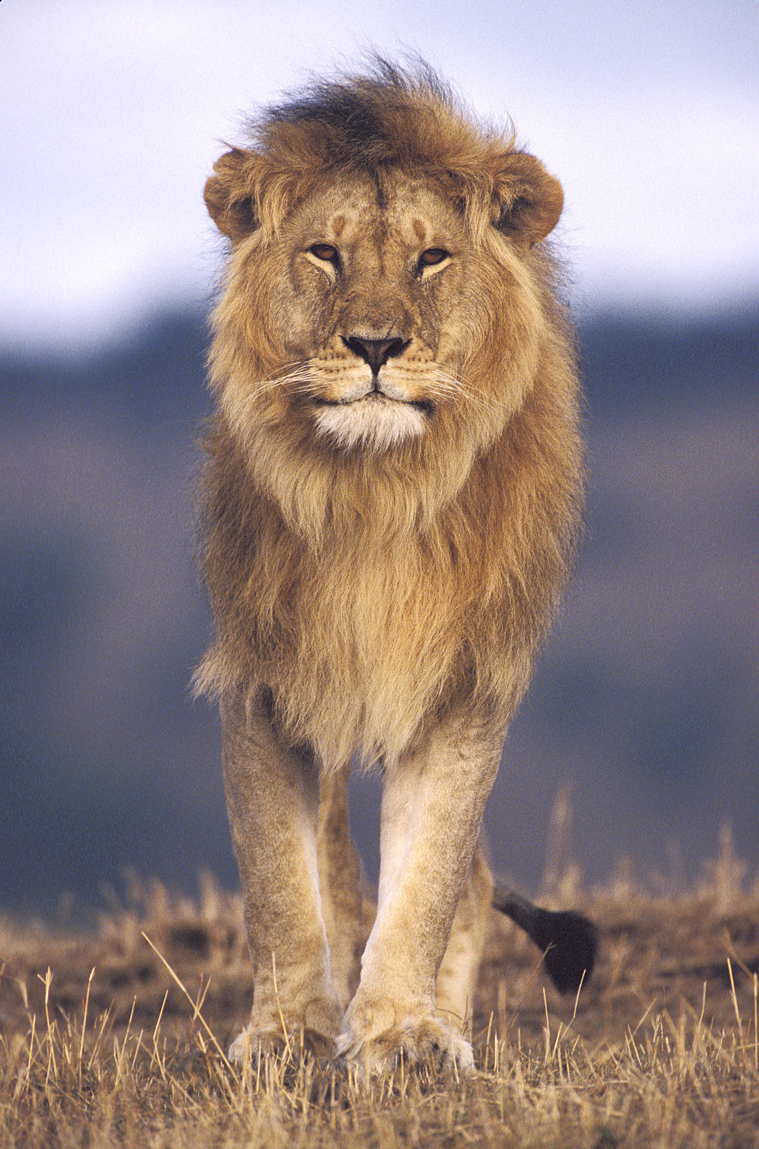 Close-up of a lion walking in a field (Panthera leo)